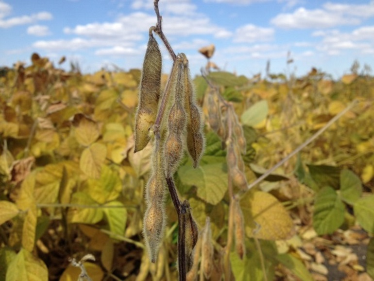soybean-closeup_resized